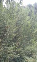 Baccharis-halimifolia-06-2012