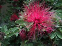 Calliandra-surinamensis-09082014