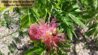 calliandra-haematocephala-052016