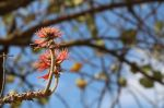 erythrina_abyssinica_110818_1