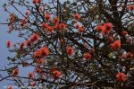 erythrina_abyssinica____3