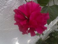 hibiscus-020814a