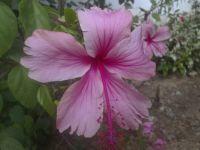 hibiscus-020814b