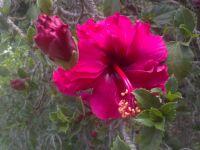 hibiscus-020814c