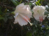 hibiscus-020814e