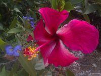 hibiscus-020814f