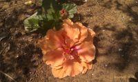 hibiscus-orange--