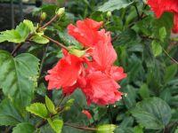hibiscus-schizopetalus
