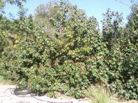 hibiscus-tiliaceus1--