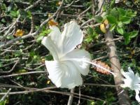 hibiscus5
