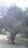 melaleuca-acuminata--1