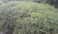 melaleuca-armillaris-green-dome----