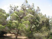 melaleuca-linarifolia-31-05-2014