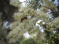 melaleuca-linearifolia-31-05-2014c