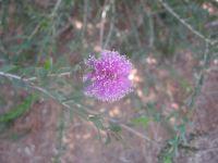 melaleuca-nesophylla-b