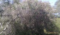 melaleuca-nesophylla