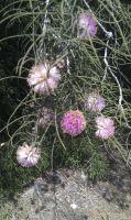melaleuca-nesophylla1