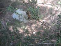 melaleuca-pubescens-228-06-14