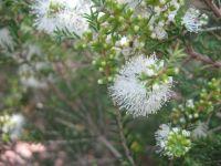 melaleuca-pubescens-328-06-14