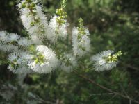 melaleuca-pubescens-428-06-14