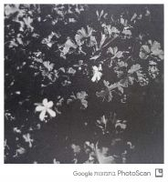 Pelargonium-capitatum