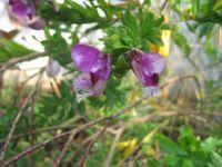 polygala-myrtifolia-01-2014a